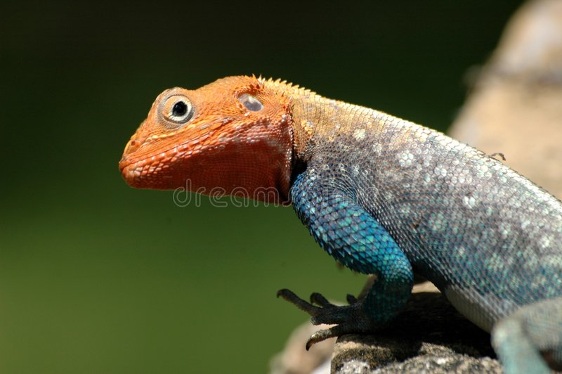 Download Red headed lizard stock image. Image of round, head, twisting - 3831063