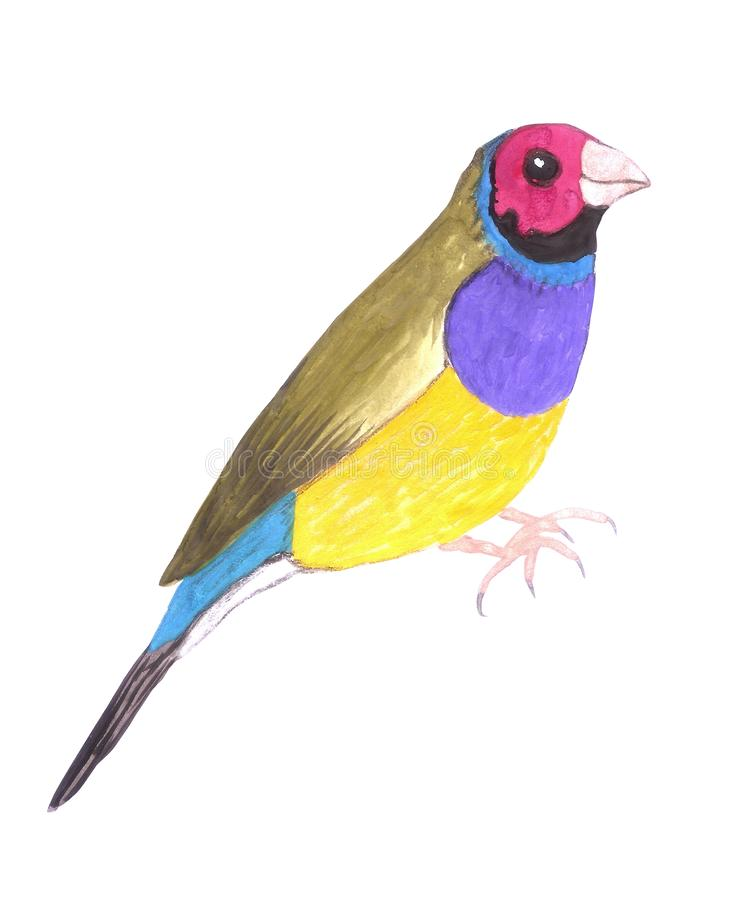 Red headed male Gouldian finch or Erythrura gouldiae isolated on white.  royalty free illustration