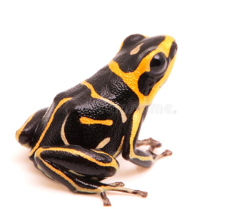 Red headed poison dart or arrow frog on white background royalty free stock photo