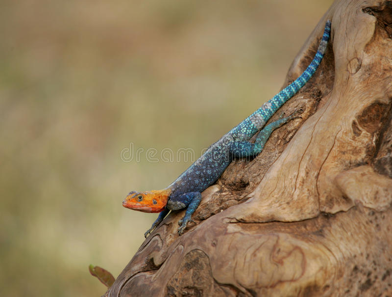 Red-headed rotsagama stock afbeeldingen