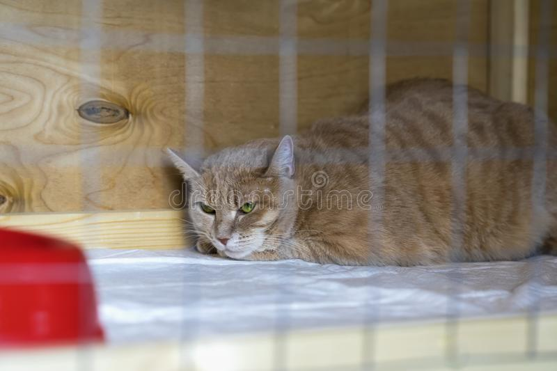 Red-headed sad homeless alone cat, lying in cage in a shelter waiting for a home, for someone to adopt him royalty free stock images