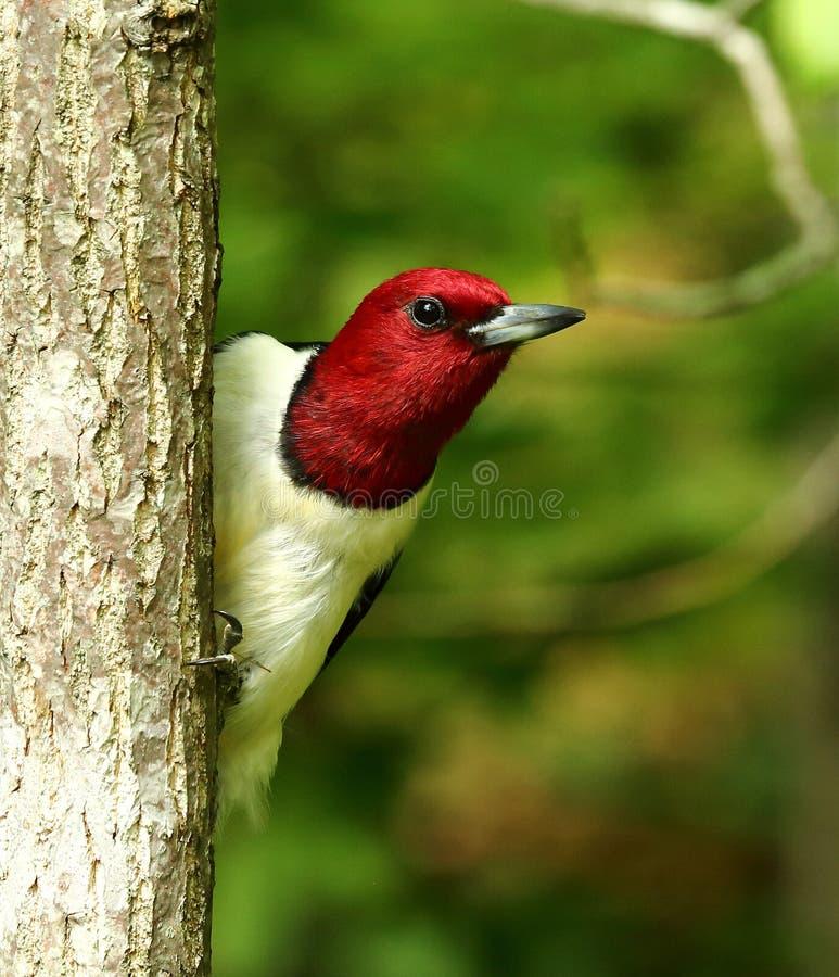 Red-Headed Specht stock afbeelding