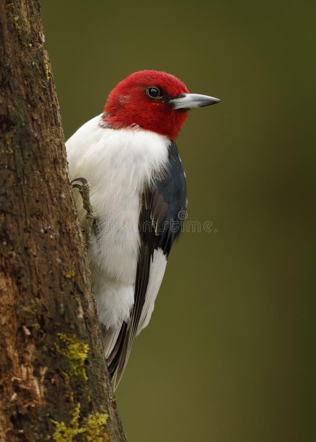 Red-headed Specht op een boomstomp royalty-vrije stock foto's