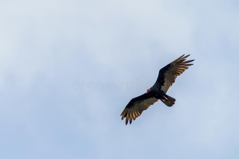 Red-headed vulture & x28;Sarcogyps calvus& x29;,  Costa Rica. Accipitrids, accipitridae, bird, prey, birds, nature, raptor, animal, animals, avian, central royalty free stock images