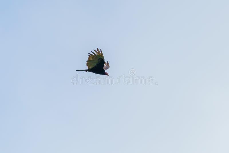 Red-headed vulture & x28;Sarcogyps calvus& x29;,  Costa Rica. Accipitrids, accipitridae, bird, prey, birds, nature, raptor, animal, animals, avian, central stock image