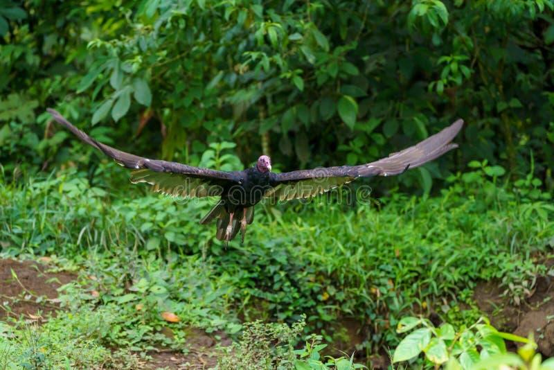 Red-headed vulture & x28;Sarcogyps calvus& x29;,  Costa Rica. Accipitrids, accipitridae, bird, prey, birds, nature, raptor, animal, animals, avian, central stock images