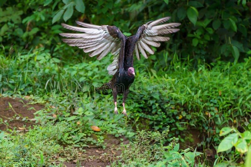 Red-headed vulture & x28;Sarcogyps calvus& x29;,  Costa Rica. Accipitrids, accipitridae, bird, prey, birds, nature, raptor, animal, animals, avian, central royalty free stock photography