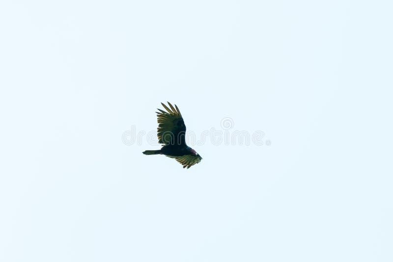 Red-headed vulture & x28;Sarcogyps calvus& x29;,  Costa Rica. Accipitrids, accipitridae, bird, prey, birds, nature, raptor, animal, animals, avian, central royalty free stock photo