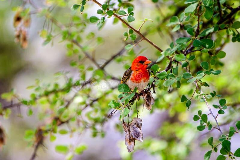 Red headed weaver bird. In a bush stock photos