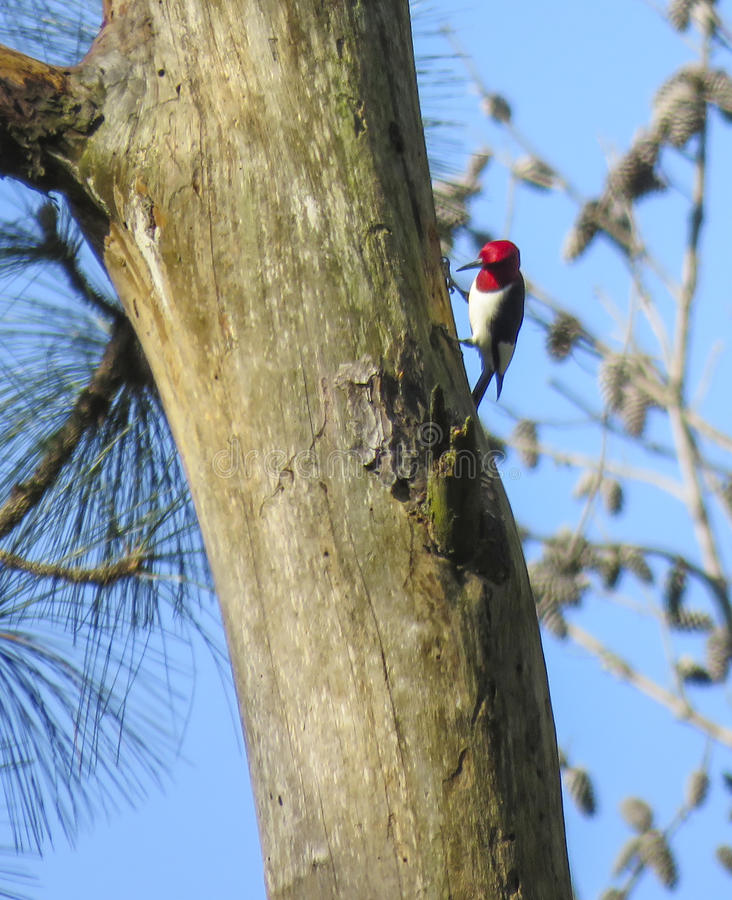Free Red-headed Woodpecker - Searching For Food Royalty Free Stock Photos - 53329358