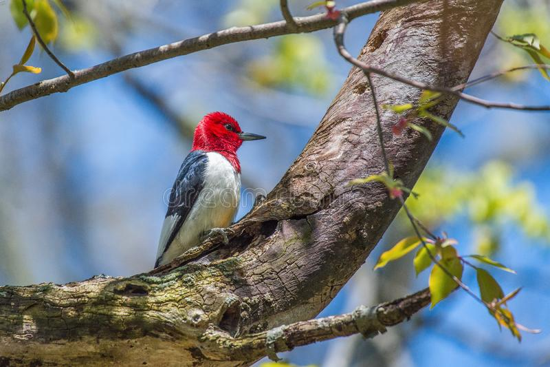 Red Headed Woodpecker.Sheldon Marsh Trail.Huron.Ohio.USA stock photo