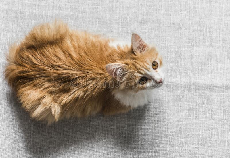 Red healthy kitten resting on a gray background, top view. Copy space stock image