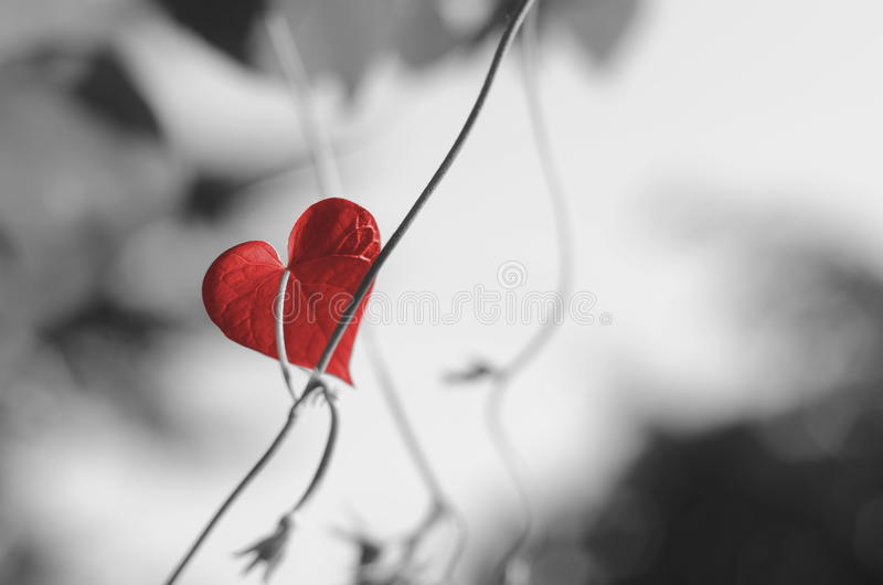 Red heart shaped leaf stock images