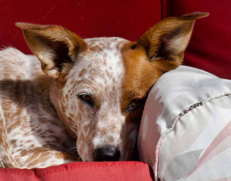 Sleepy Red Heeler. Red Heeler, also known as an Australian Cattle Dog, trying to take a nap royalty free stock images