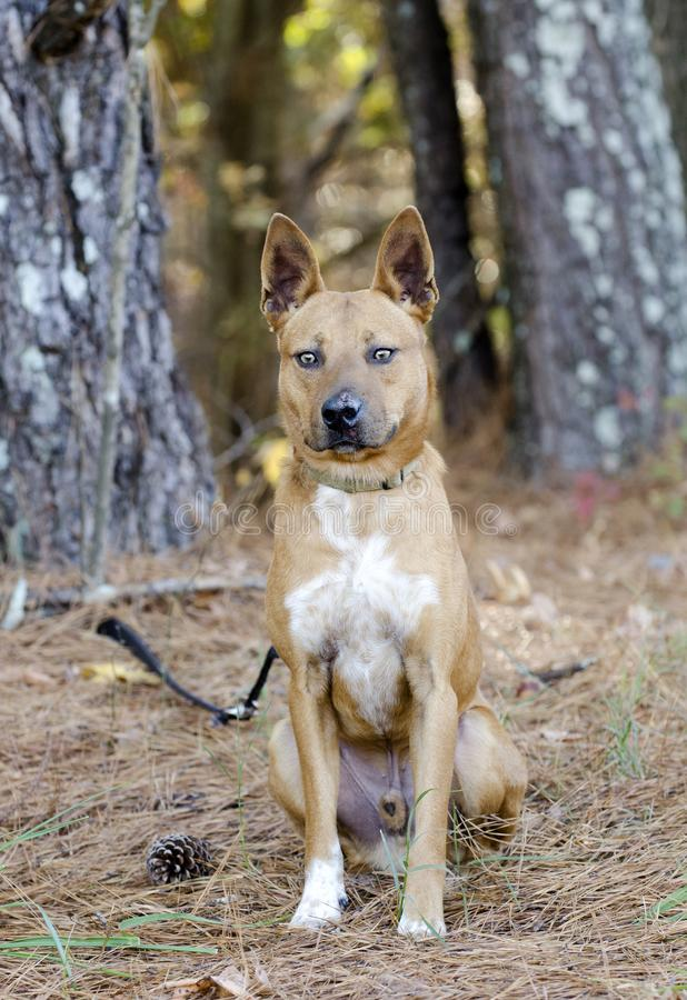Red Heeler cattledog mixed breed dog. With erect ears, on leash. Outdoor adoption photograph for Walton County Animal Control shelter humane society. Monroe royalty free stock photo
