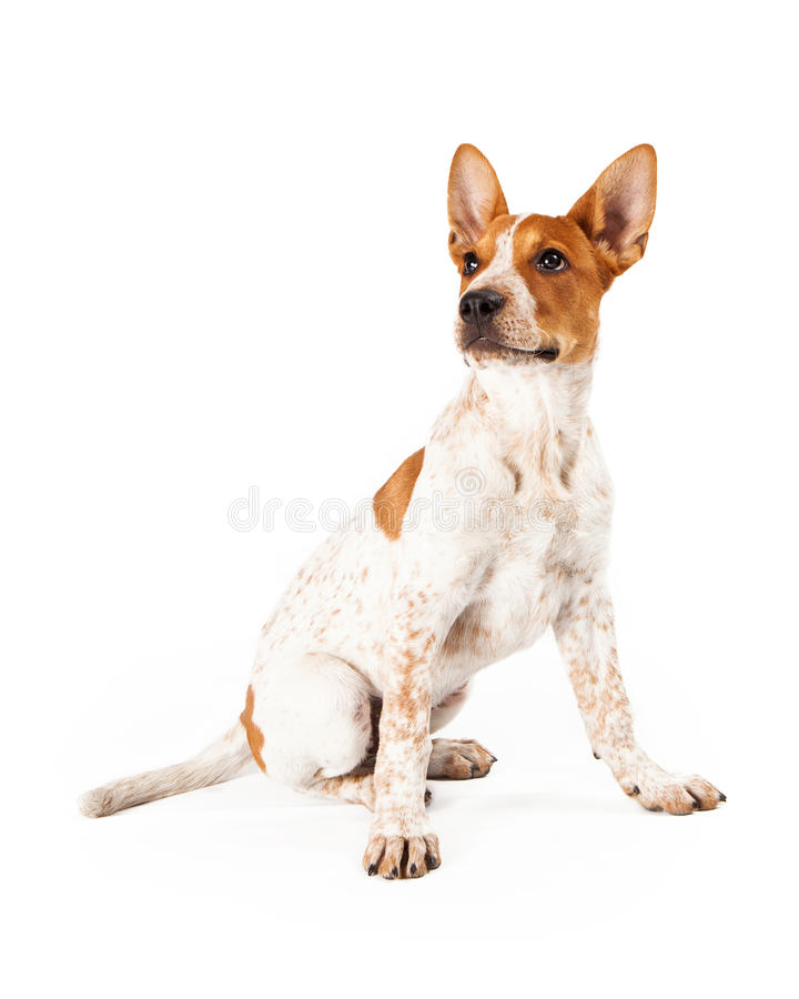 Red Heeler Puppy. Cute three month old Red Heeler puppy dog sitting and looking off to the side stock photos
