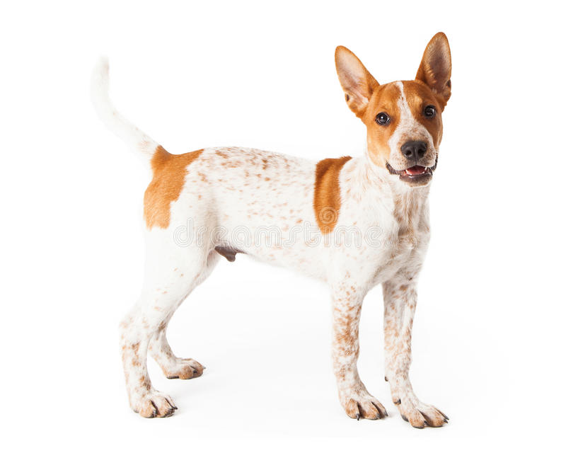 Red Heeler Puppy Profile. A cute three month old Red Heeler mixed breed puppy standing off to the side with a happy expression on his face stock images