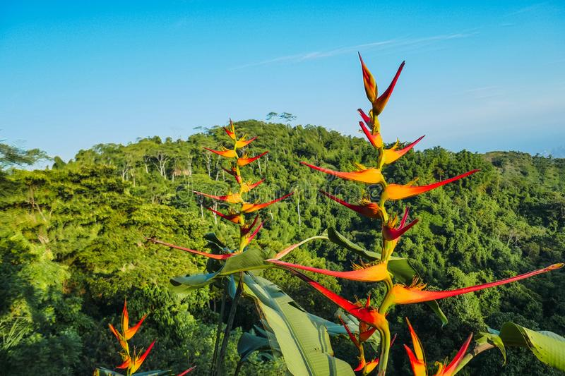 Red heliconia flower with mountain background. Jungle background stock photo