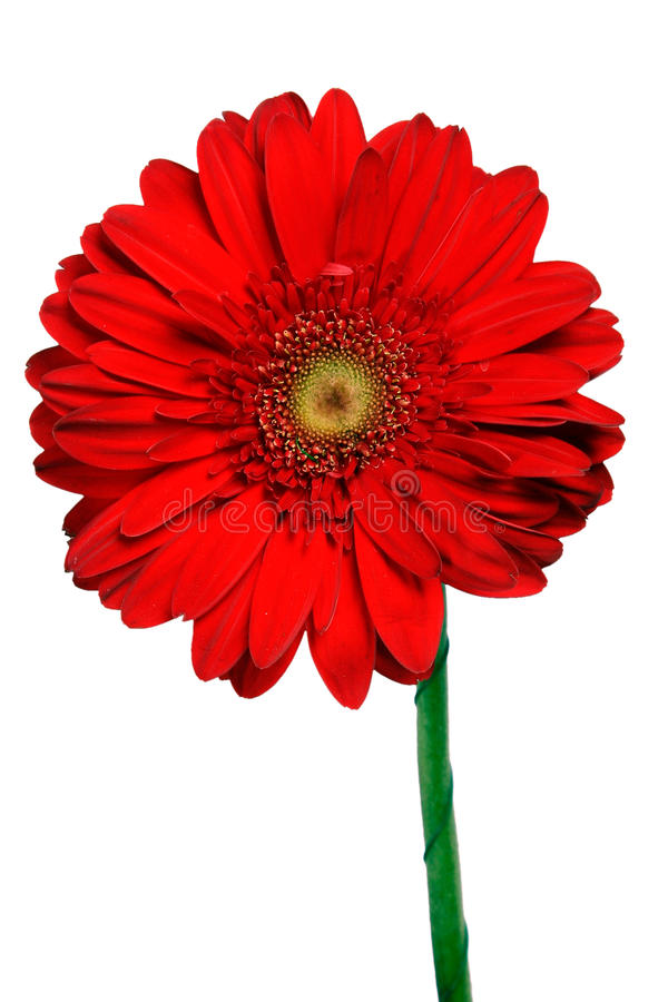 Free Red Herbera 1 Stock Photography - 13784402