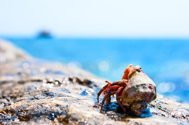 Red hermit crab royalty free stock photo
