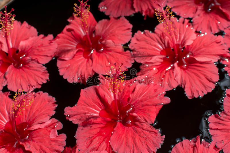 Red Hibicus Flowers royalty free stock photography