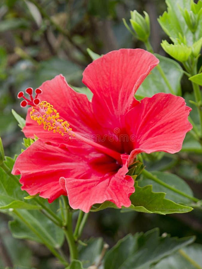 Red Hibiscus stock photos