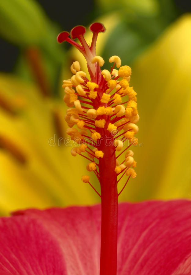 Free Red Hibiscus Flower Stock Photos - 23017603