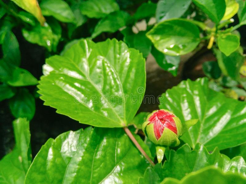 Red hibiscus flower bud blooming and green leaves plant growing in the garden, nature photography. Blossom, plantation, horticulture, botany, bio, petals stock photography