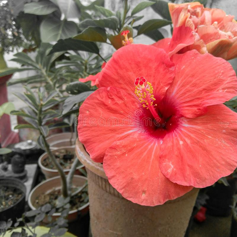 Red hibiscus flower bud blooming and green leaves plant growing in the garden, nature photography. Blossom, plantation, horticulture, botany, bio, petals stock photos