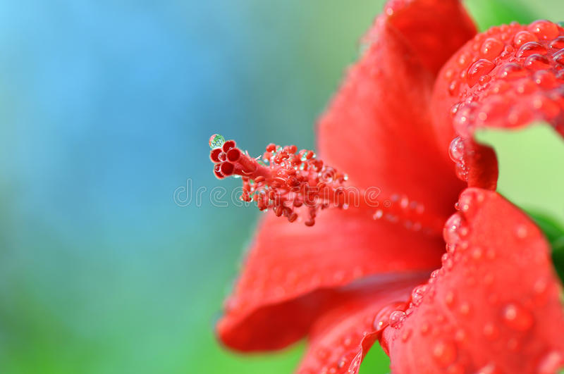 Red hibiscus flower (chinese rose) royalty free stock photo