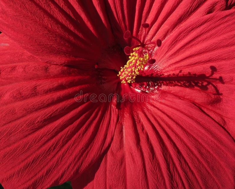 Red Hibiscus Flower Close-up in August stock image
