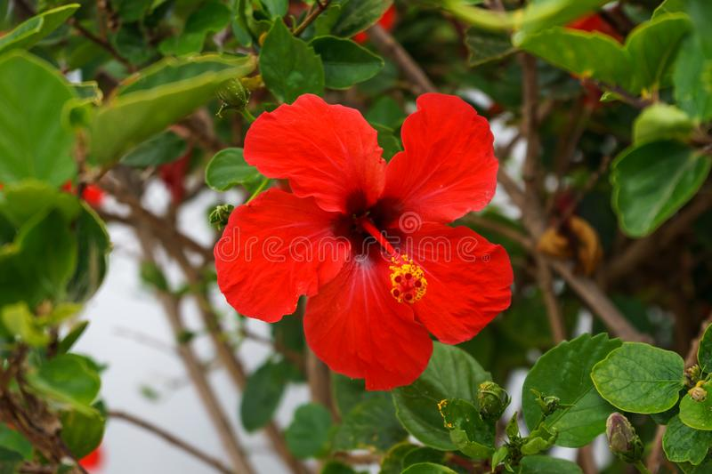 Red hibiscus flower detail blooming in tropical garden.  royalty free stock image