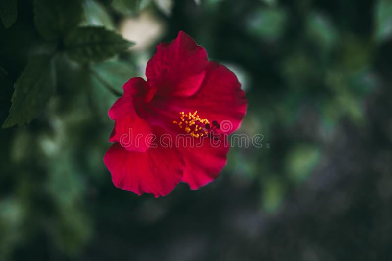 Red hibiscus flower on green leaves background. Tropical garden. Close up view of red hibiscus flower. Hibiscus rosa-sinensis. stock photo