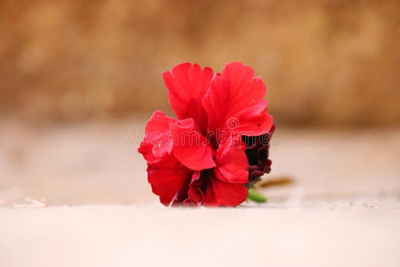 Red Hibiscus Flower On Ground. Red beautiful Hibiscus flower lying on the ground royalty free stock photos
