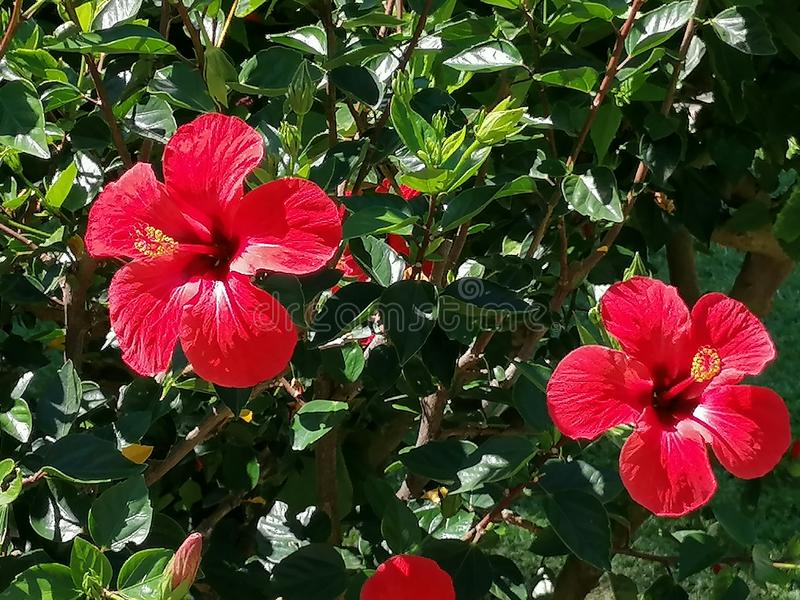 Red Hibiscus flower.It is a plant native to China and belongs to the Malvaceae family. It is a cosmopolitan plant that can be found in the gardens of virtually stock photos