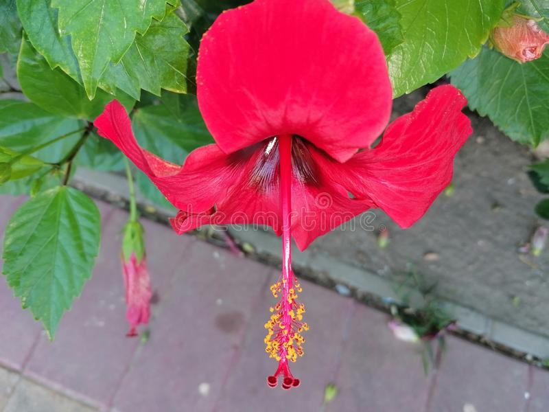 Red Hibiscus flower.It is a plant native to China and belongs to the Malvaceae family. It is a cosmopolitan plant that can be found in the gardens of virtually stock photography