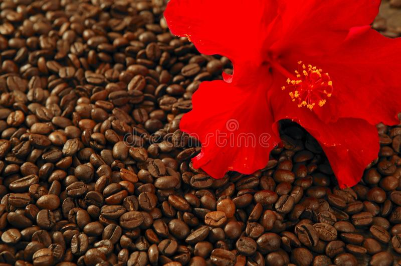 Red hibiscus flower on toasted coffe beans royalty free stock image