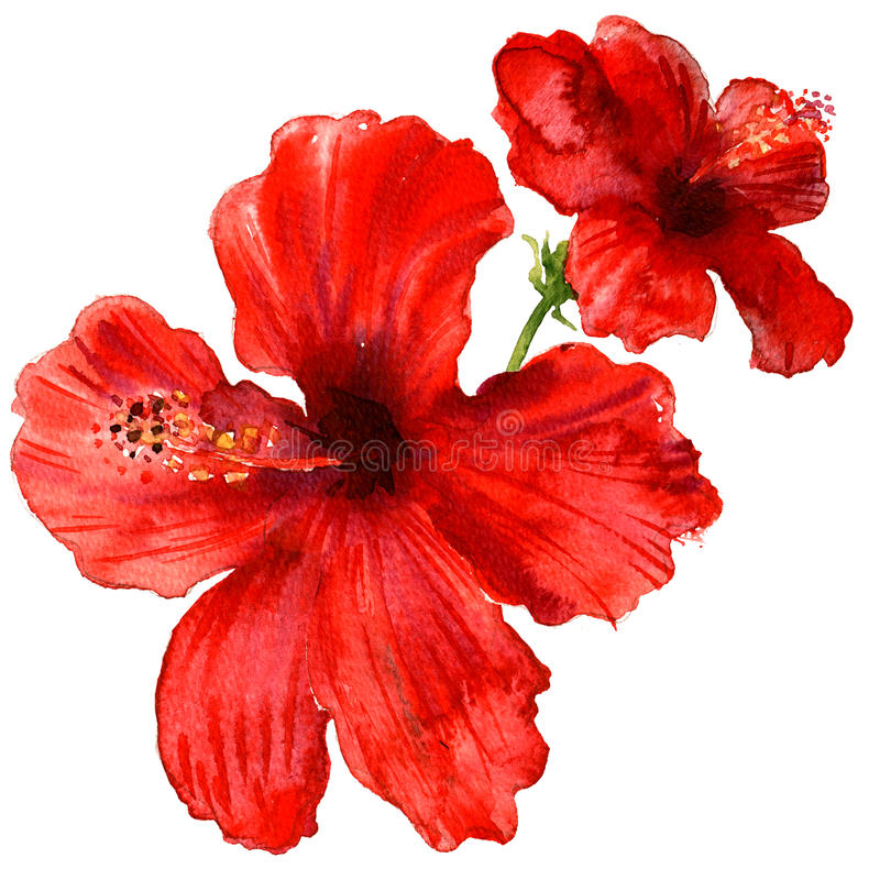 Free Red Hibiscus Flower, Tropical Plants Isolated, Watercolor Illustration On White Stock Images - 96667484