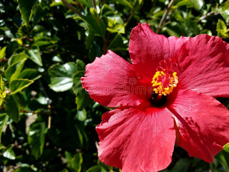 Red hibiscus flower up close with green background 4k. Up close look at the center of a red hibiscus flower 4k stock photography