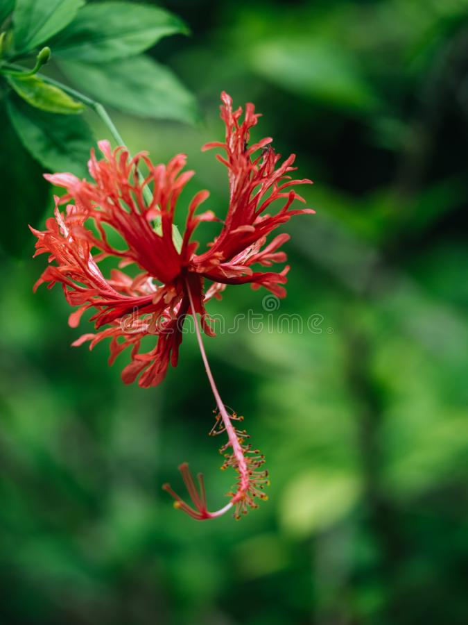 Red hibiscus flowers, beautyful flower, nature background, heap of hibiscus flowers royalty free stock image