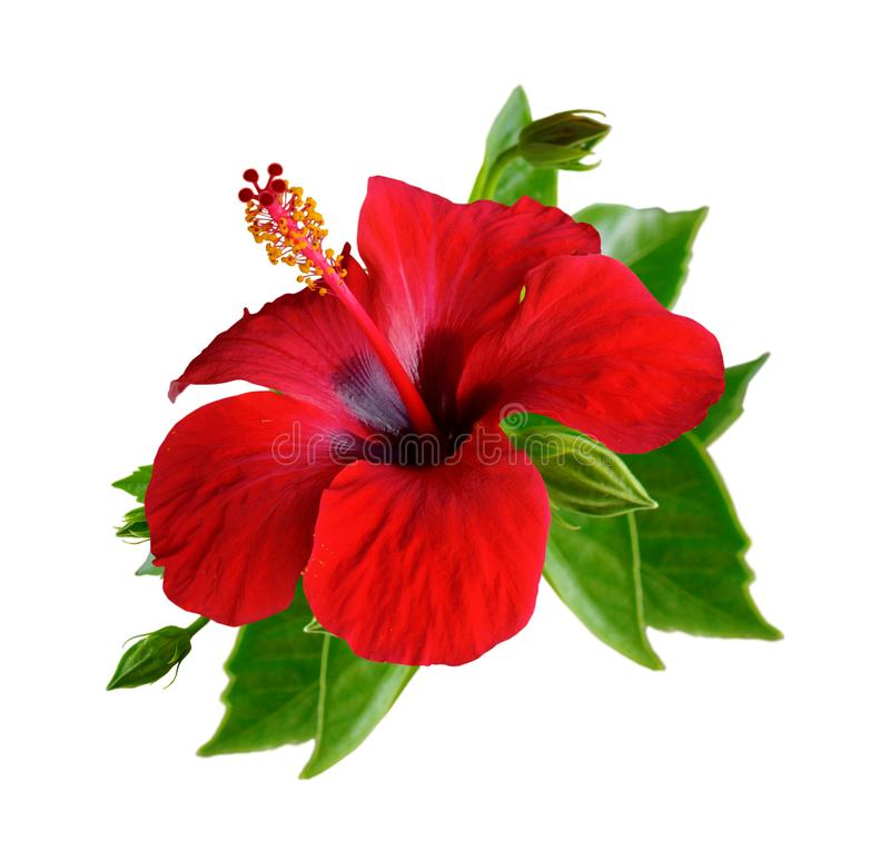 Red hibiscus flowers. Isolated. Red hibiscus flowers. Isolated set on white background royalty free stock images