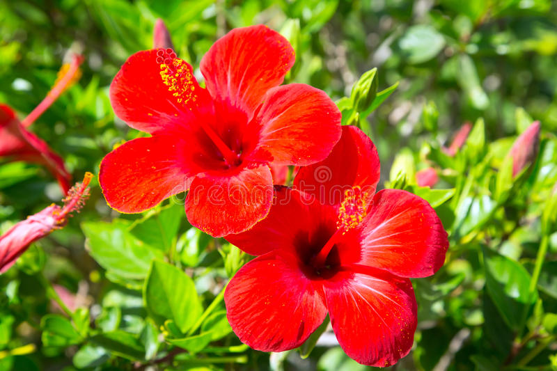 Download Red Hibiscus Flowers In The Tropical Garden Stock Photo - Image: 30835598