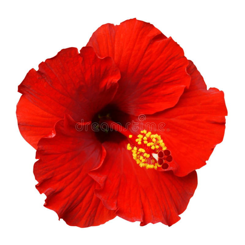 Free Red Hibiscus On White Background Royalty Free Stock Photography - 88280247