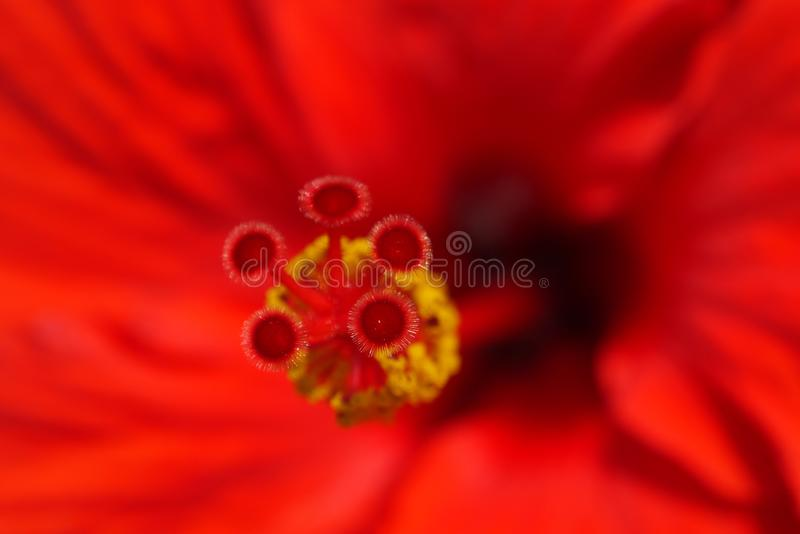 Red hibiscus petal and pollinator texture background. Flower close up royalty free stock photos