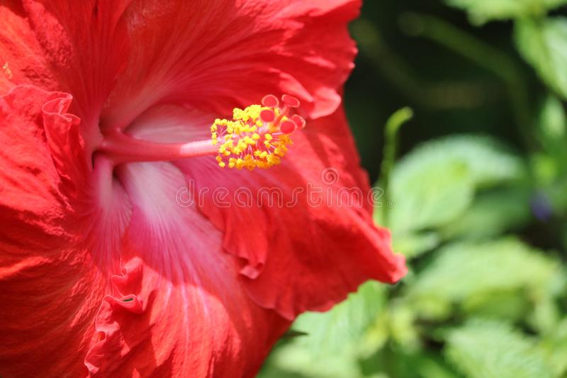 Red Hibiscus Selective Photography stock images