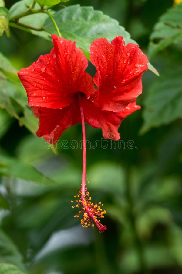 Red hibiscus stock image
