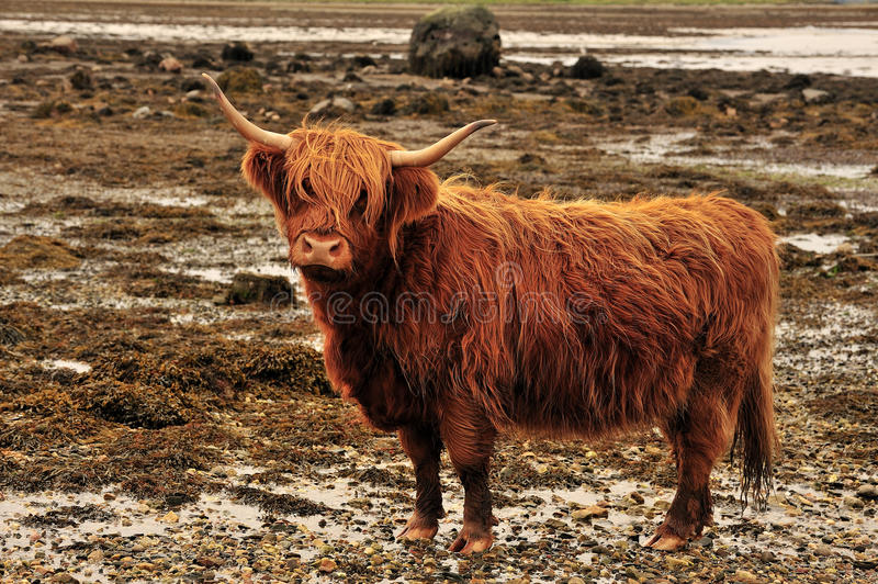 Red Highland cow or Kyloe, Argyll, Scotland stock images