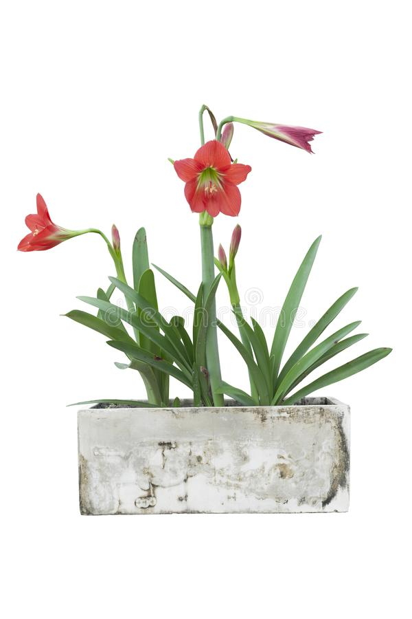 Red hippeastrum or amaryllis flower in cement pot isolated on white background. Red hippeastrum or amaryllis flower in cement pot isolated on white background royalty free stock photos