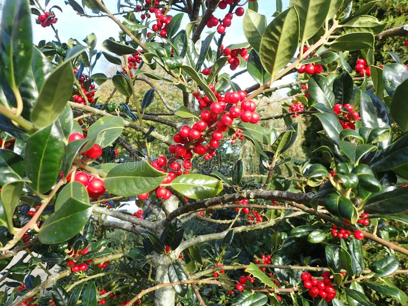 Red holly berries. Holly berries with a vibrant blue sky. Shiny berries, Full bunches of berries. Catching the light Nice shrub or isolated twig royalty free stock images