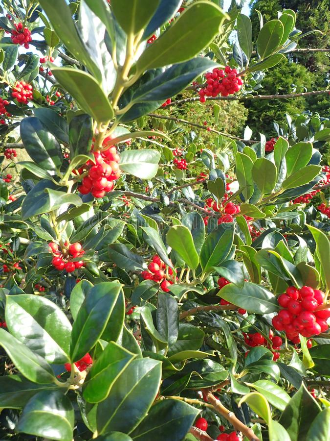 Red holly berries. Holly berries with a vibrant blue sky. Shiny berries, Full bunches of berries. Catching the light Nice shrub or isolated twig royalty free stock photography
